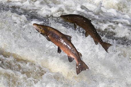 Pesca al salmone in Scozia