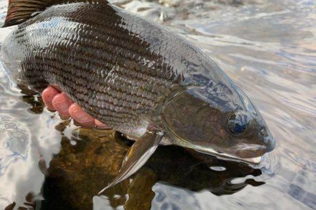 Pesca salmoni, temoli, lucci